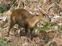 Muntjac Deer (Muntiacus species) - © Crown Copyright 2009 GBNNSS