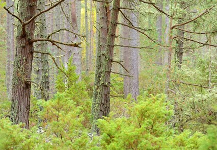 Scots pine and juniper scrub, Aberneathy National Nature Reserve, Cairngorms National Park (c)Lorne, Gill/SNH