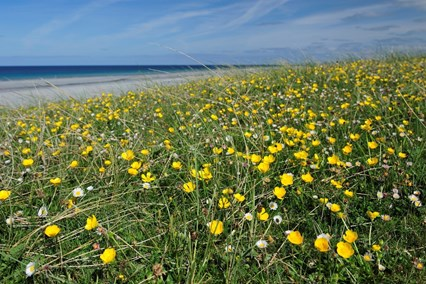 Machair flowers, South Uist ©Lorne Gill/SNH